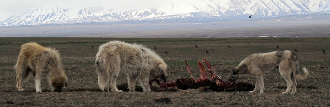 Dogs scavenging on a sheep carcass at Sary Mogol, 3000 m alt., Alay Valley, Kyrgyzstan