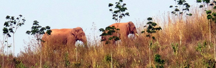 Asian elephants marauding near sugarcane fields in Jiangchen, Yunnan