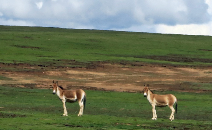 The Kiang (Equus kiang), the largest of the wild asses, is endemic of the Tibetan plateau