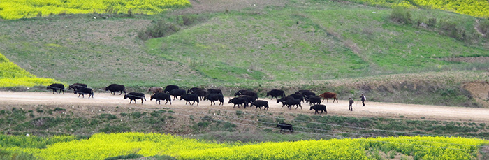« pien niu » herd (hybrids of yak and cow) on the way from Cao Tan to Huang He