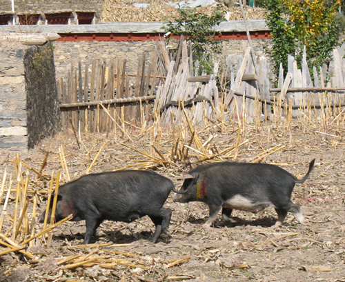 Tagged pigs in Marihe village