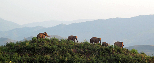 Wild elephants in a coffee plantation, in JiangCheng Hani and Yi Autonomous County, Pu'er prefecture