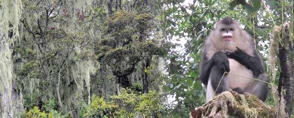 Left: at the altitude 3400m, a forest of himalayan oak trees covered with lichens, a food essential to the Black and White Snubed-Nosed Monkey (right)