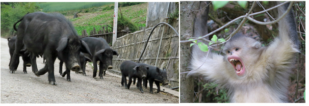Can pig and monkey populations exchange parasites ?