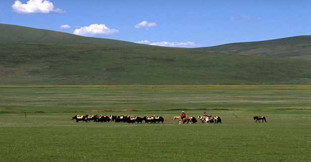 Yak herd on the Tibetan plateau, 4200 m alt., Siqhu, Sichuan, China